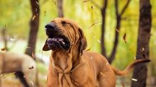 A dog sneezes, surrounded by leaves.