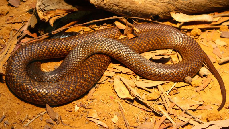 A western brown snake (Wikimedia/Andy Mitchell)