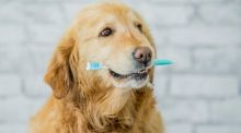 A Labrador dog sits carrying a toothbrush in its mouth like a bone.
