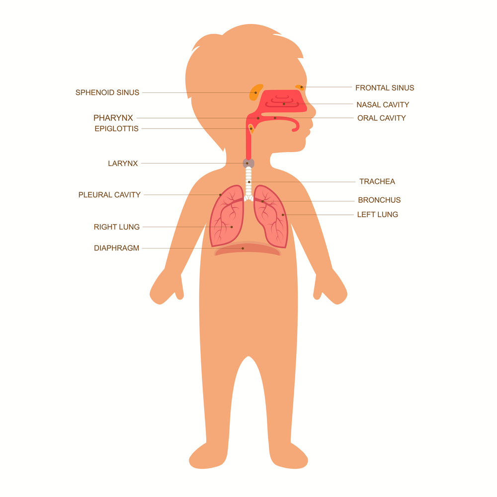 Hiccups everything youve ever wanted to know queensland health a diagram showing the respiratory system including epiglottis larynx and diaphragm pooptronica