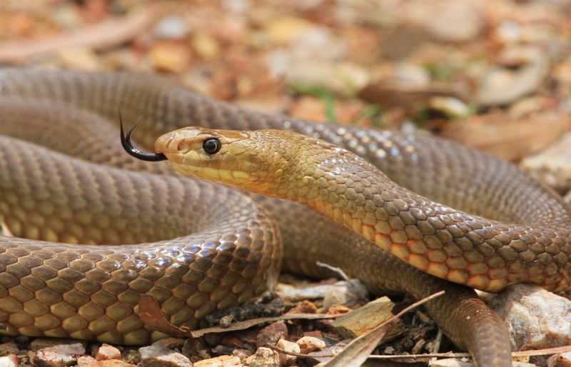 A close up of an eastern brown snake coiled on the ground, flicking its tongue out.