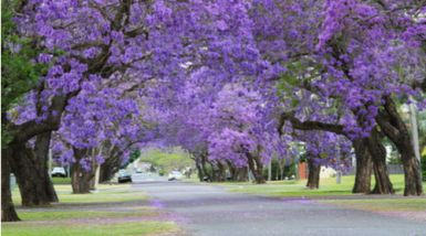 A long suburban street with a car driving at the end, lined with jacaranda trees in flower.